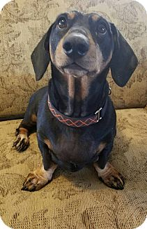 Dachshund Mix Dog for adoption in Phoenix, Arizona - Boots