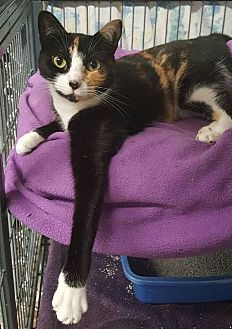 Domestic Shorthair Cat for adoption in Freeport, New York - Lily