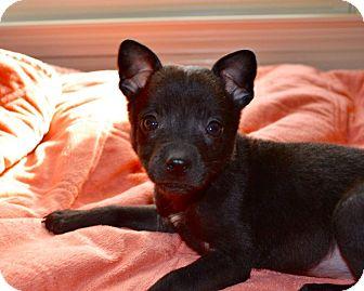 Border Collie/Shar Pei Mix Puppy for adoption in Huntsville, Alabama - Velma