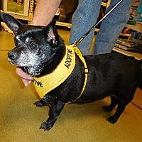 Chihuahua Mix Dog for adoption in North Wilkesboro, North Carolina - Blackie