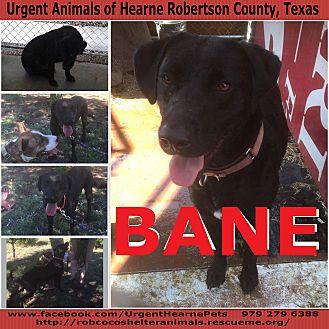 Labrador Retriever Mix Dog for adoption in Hearne, Texas - Bane