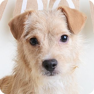 Mixed Breed (Small)/Terrier (Unknown Type, Small) Mix Dog for adoption in Wilmington, Delaware - Antonio