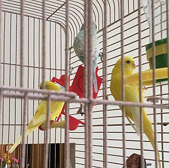Parakeet - Other for adoption in Punta Gorda, Florida - 3 Parakeets