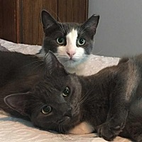 Adopt A Pet :: Grayson & Ricky-Bonded Brothers - New City, NY