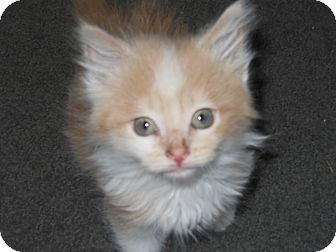 Domestic Longhair Kitten for adoption in Olivet, Michigan - Pete