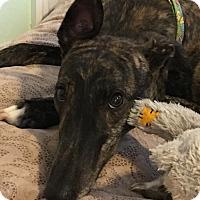 Adopt A Pet :: Paige - Cape Coral, FL