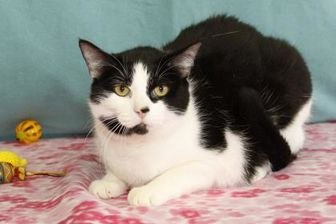 Domestic Shorthair/Domestic Shorthair Mix Cat for adoption in Bristol, Indiana - James