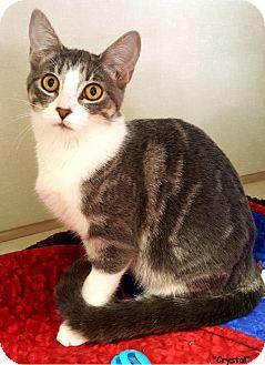 Domestic Shorthair Kitten for adoption in Key Largo, Florida - Crystal