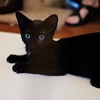 Domestic Shorthair Kitten for adoption in Staten Island, New York - Sam