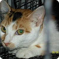 Calico Cat for adoption in Mexia, Texas - Sapphire