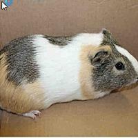 Adopt A Pet :: *Urgent* Cody - Fullerton, CA