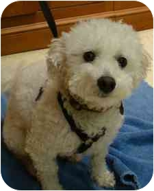 Bichon Frise Dog for adoption in Norwalk, Connecticut - Max