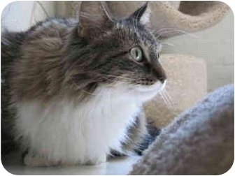 Maine Coon Cat for adoption in Scottsdale, Arizona - Madeline