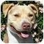 Photo 2 - American Pit Bull Terrier/American Pit Bull Terrier Mix Dog for adoption in Burbank, California - Mr. Coffee---HAS VIDEO