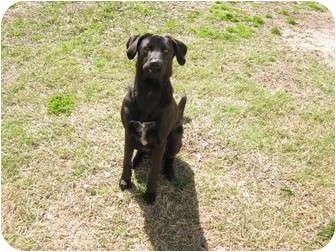 Labrador Retriever Mix Dog for adoption in Jacksonville, North Carolina - Bells
