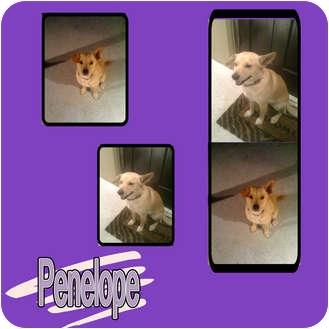 Corgi/Labrador Retriever Mix Dog for adoption in Hollywood, Florida - PENELOPE