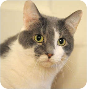 Domestic Shorthair Cat for adoption in Chicago, Illinois - Leyla & Cody