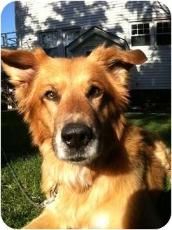 Collie/Retriever (Unknown Type) Mix Dog for adoption in Long Beach, New York - Spark