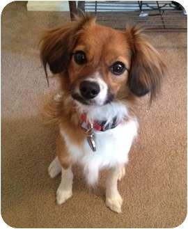 Papillon/Shih Tzu Mix Dog for adoption in Lake Forest, California - Sneeker