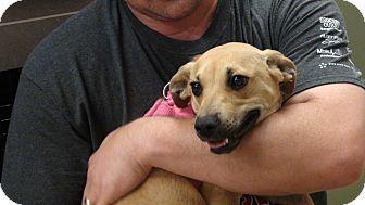 Golden Retriever/Labrador Retriever Mix Puppy for adoption in Grass Valley, California - Amanda
