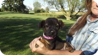 Chihuahua/Miniature Pinscher Mix Puppy for adoption in Edon, Ohio - Isla..ADOPTED