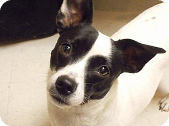 Jack Russell Terrier Dog for adoption in Houston, Texas - Tequila in Bay City