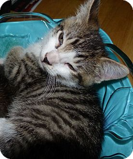 Domestic Shorthair Kitten for adoption in Jacksonville, Florida - Oliver
