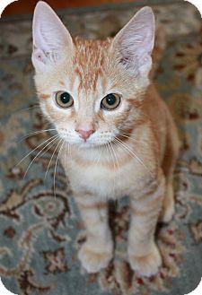 Domestic Shorthair Cat for adoption in Houston, Texas - Allen