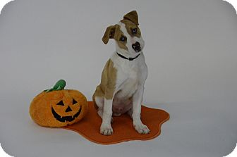 Catahoula Leopard Dog/Border Collie Mix Puppy for adoption in Norman, Oklahoma - Bud