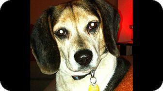 Beagle Dog for adoption in bridgeport, Connecticut - Cody