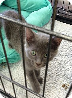 Russian Blue Kitten for adoption in Cerritos, California - Taz