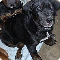 Adopt A Pet :: Bear - Burr Ridge, IL