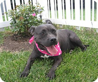 American Pit Bull Terrier Mix Dog for adoption in Easton, Illinois - Jemma