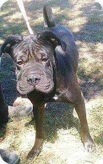 Shar Pei Mix Dog for adoption in Moulton, Alabama - Jake
