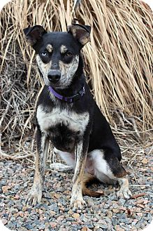 Husky/Shepherd (Unknown Type) Mix Dog for adoption in Westminster, Colorado - Galaxy