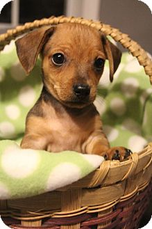 Chihuahua/Dachshund Mix Puppy for adoption in Bedminster, New Jersey - Smore