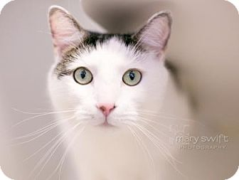 Domestic Shorthair Cat for adoption in Reisterstown, Maryland - Sneakers