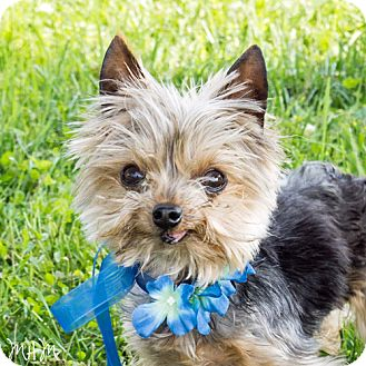Yorkie, Yorkshire Terrier Dog for adoption in Naperville, Illinois - Andy