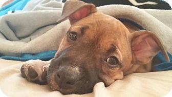 American Bulldog Mix Puppy for adoption in Hazel Park, Michigan - Glory