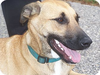German Shepherd Dog Mix Dog for adoption in Odessa, Florida - BEAR