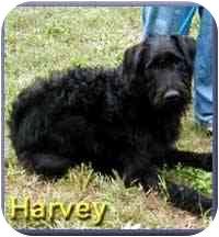 Airedale Terrier/Irish Wolfhound Mix Dog for adoption in Aldie, Virginia - Harvey