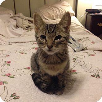 Domestic Shorthair Kitten for adoption in Homewood, Alabama - Jill
