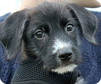 Labrador Retriever/Terrier (Unknown Type, Medium) Mix Puppy for adoption in Mt. Prospect, Illinois - Checkers