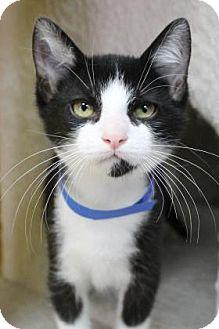Domestic Shorthair Kitten for adoption in Benbrook, Texas - Ronald