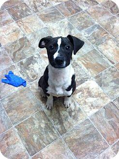 Labrador Retriever Mix Puppy for adoption in Darlington, South Carolina - Willis