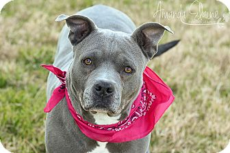 Pit Bull Terrier Mix Dog for adoption in Pilot Point, Texas - BLANCHE