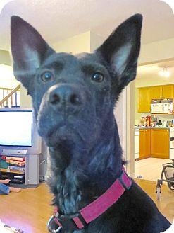 Labrador Retriever/Shepherd (Unknown Type) Mix Dog for adoption in Toronto, Ontario - Shyna