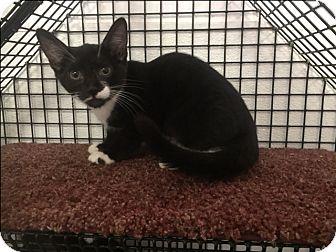 Domestic Shorthair Kitten for adoption in Forest Hills, New York - Johnny