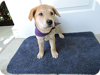 Shepherd (Unknown Type) Mix Puppy for adoption in Detroit, Michigan - Pichu-Adopted!