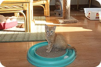 Domestic Shorthair Kitten for adoption in St. Louis, Missouri - Tyson